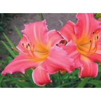 daylilies: OLALLIE ETHEL PETERS