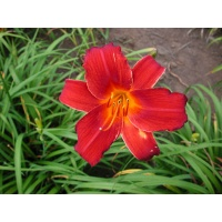 daylilies: OLALLIE KEVIN