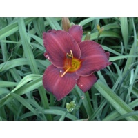 daylilies: OLALLIE RED EAGLE