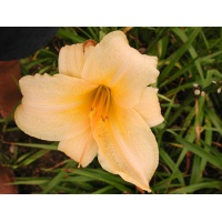 daylilies: OLALLIE YELLOW BIRD