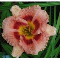 daylilies: DESTINY'S CHILD