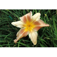 daylilies: RITE OF SPRING