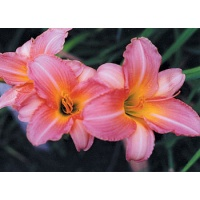 daylilies: ROSE ON PINK (VT)