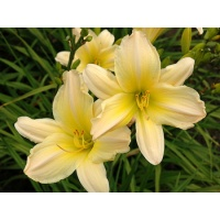 daylilies: SATIN GLASS