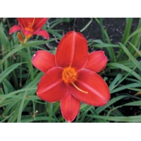 daylilies: SCARLET TANAGER