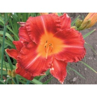 daylilies: SPIKEY RED (VT)