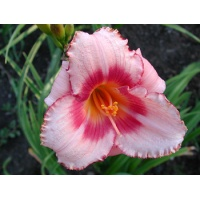 daylilies: STRAWBERRY CANDY