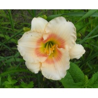 daylilies: SUMMER REPOSE