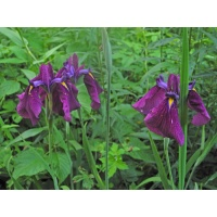 Japanese Iris clumps