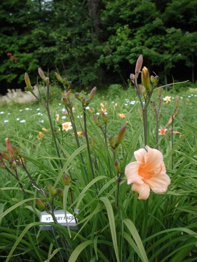 Daylily Clumps 2015: BABY FACE (VT)