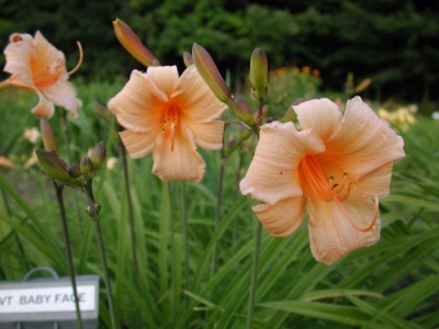 Daylily Scapes: BABY FACE (VT)