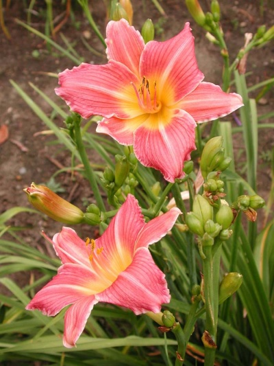 daylily blooms: ROUGE BLUSH (VT)
