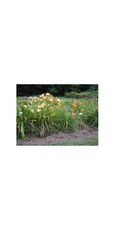 Daylily Clumps 2015: WHY NOT (VT)