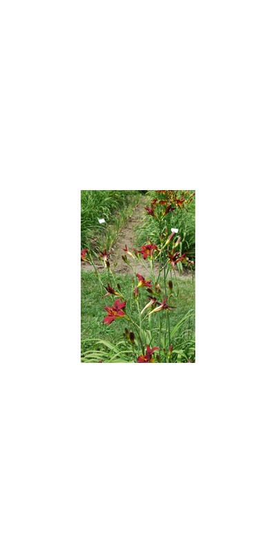 Daylily Clumps 2015: OLALLIE RED FLARE (VT)