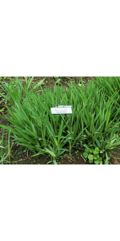Daylily Clumps 2015: H. dumortieri