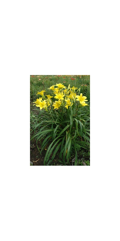 Daylily Clumps 2015: HYPERION SUPREME