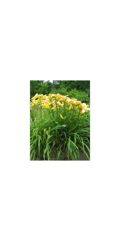 Daylily Clumps 2015: LITTLE FLOCK