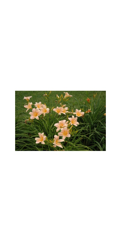 Daylily Clumps 2015: LOVE THAT PINK