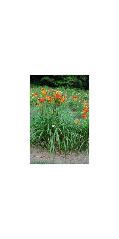 Daylily Clumps 2015: OLALLIE FIRECRACKER