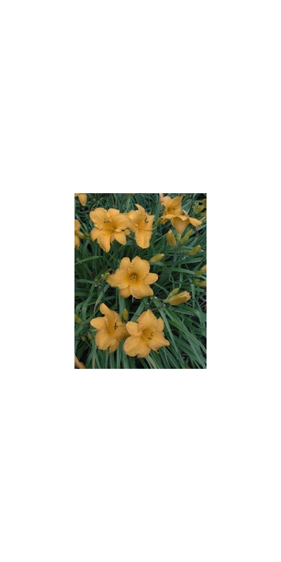 Daylily Clumps 2015: OLALLIE HARVEST MOON