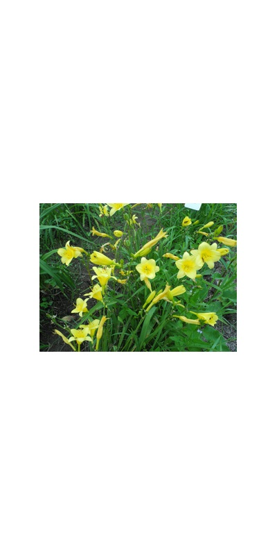 Daylily Clumps 2015: THREE SEASONS