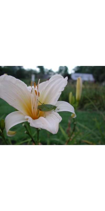 Daylily Scapes: ANGLES OF WHITE (VT)