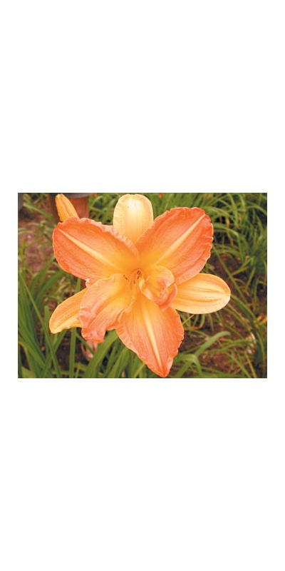 daylilies: A GOOD LESSON (VT)