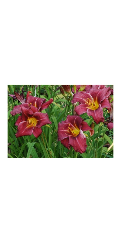 daylilies: OLALLIE MAGGIE BROMELL (+ 1-07) (VT)