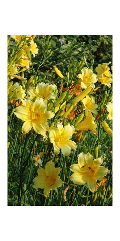 daylilies: PURITY