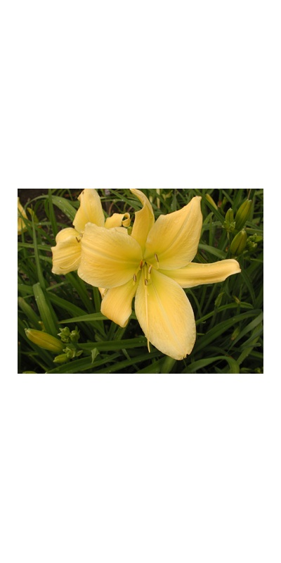 daylilies: BIG BIRD