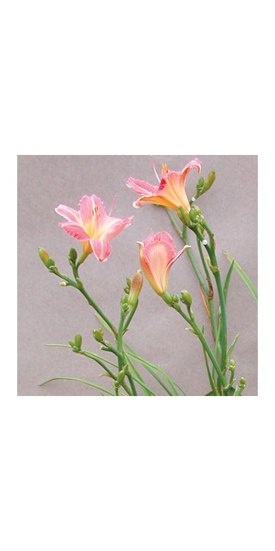 daylilies: ROUGE BLUSH (VT)