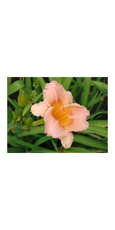 daylilies: SILOAM LITTLE GIRL