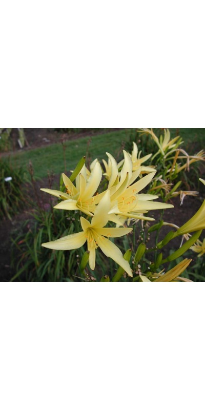 daylily blooms: H. citrina spider type (VT)