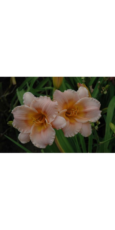 daylily blooms: SILOAM LITTLE GIRL