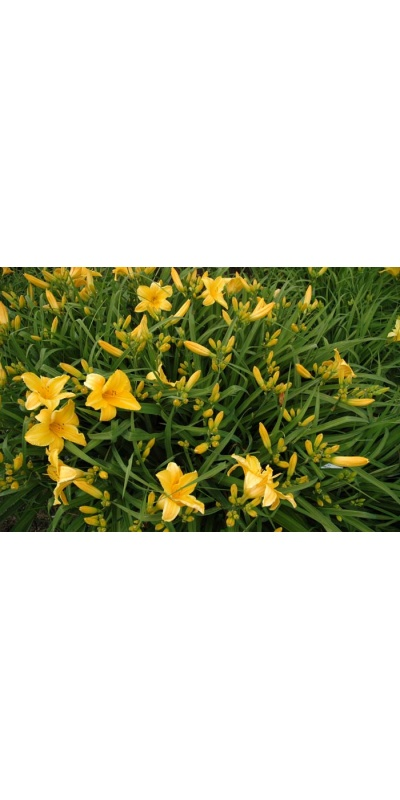 daylily blooms: STOWAWAY (VT)