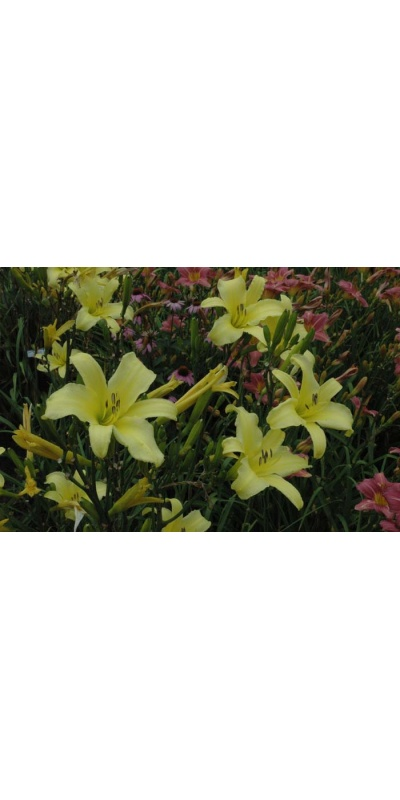 daylily blooms: TETRINA'S DAUGHTER