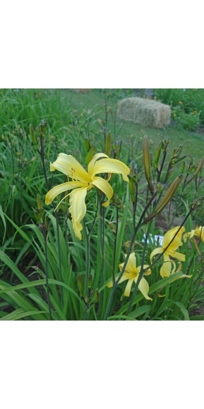 Yellow Hornet Daylily